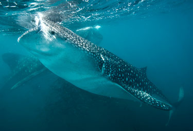 Whale Shark & Rookery Journey Eco Migrations
